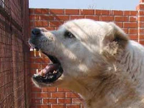Щенка учат убивать»: бизнес на собаках-монстрах расцвел в России ...   375x500